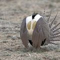 Sage Grouse by Gary Beeler