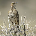 Sage Thrasher by Richard Eastman