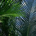Sago Palm Fronds by Mark Sellers