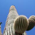 Saguaro 2 by Travis Wilson