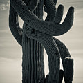 Saguaro Cactus Armed And Twisted by James BO  Insogna