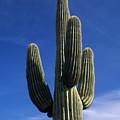 Saguaro Cactus by Steve Williams