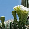 Saguaro Flowers by Dan McManus