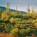 Saguaro Landscape Series L9250085 by Sandra Selle Rodriguez
