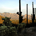 Saguaro Silhouette by Jill Reger