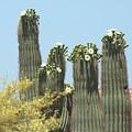 Saguaro Sisters by Marilyn Barton