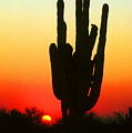 Saguaro Sunset  by James BO  Insogna