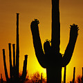 Saguaro Sunset by Sandra Bronstein