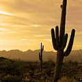 Saguaros At Sunset by Brian M Lumley