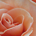 Sahara Light Tan Cream Rose by David Zanzinger