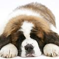 Saint Bernard Puppy Sleeping by Mark Taylor