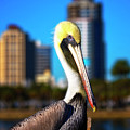 Saint Petersburg Pelican by Stephanie Hayes