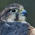 Saker Falcon At Rest by Sue Harper