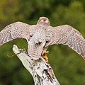 Saker Falcon by Bill Barber