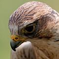Saker Falcon - Blushing by Sue Harper
