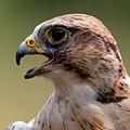 Saker Falcon - Falco Cherrug by Sue Harper
