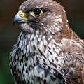 Saker Falcon - Magical by Sue Harper