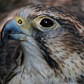 Saker Falcon Portrait by Sue Harper
