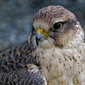 Saker Falcon - Pose by Sue Harper