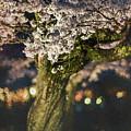 Sakura At Night by Eva Lechner