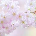 Sakura Blossom by Jenny Rainbow