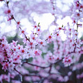 Sakura Blossom by Oleg Volkov