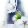 Sakura Cherry Blossom Flowers by Oleksiy Maksymenko