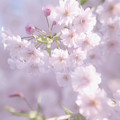 Sakura Trees by Luv Photography