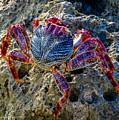 Sally Lightfoot Crab 1 by Nancy L Marshall