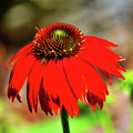 Salsa Red Coneflower by Cynthia Guinn