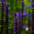 Salvia by Erik Boer