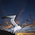 Salvins Albatross At Sunset by Tui De Roy