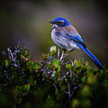 San Diego Bluebird by Doug Sturgess
