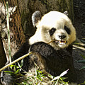 San Diego Panda by Sissy Schneiderman