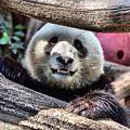 San Diego Zoo California Giant Panda by TN Fairey