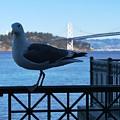 San Francisco - Oakland Bay Bridge - Seagull View by Matt Quest