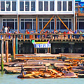 San Francisco Pier 39 Sea Lions . 7d14272 by Wingsdomain Art and Photography
