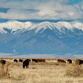 San Luis Valley And Cattle by Chris Anthony