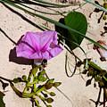 Sand Flowers by Susan Vineyard