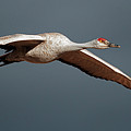 Sand Hill Crane On Approach by Gary Langley