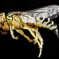 Sand Wasp by FL collection