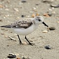 Sanderling by Al Powell Photography USA