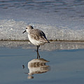 Sanderling by Gary Wing