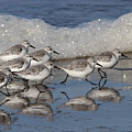 Sanderlings by Gary Wing