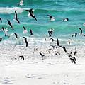 Sandestin Seagulls B by Roe Rader