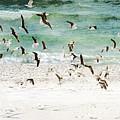 Sandestin Seagulls D by Roe Rader