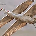 Sandhill Crane 11 by Safe Haven Photography Northwest