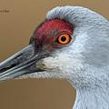 Sandhill Crane 6 by Safe Haven Photography Northwest