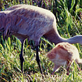 Sandhill Crane And Chick by D Hackett