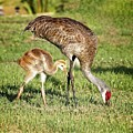 Sandhill Crane And Colt by Ronald Lutz
